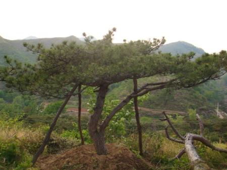 泰山景观松
