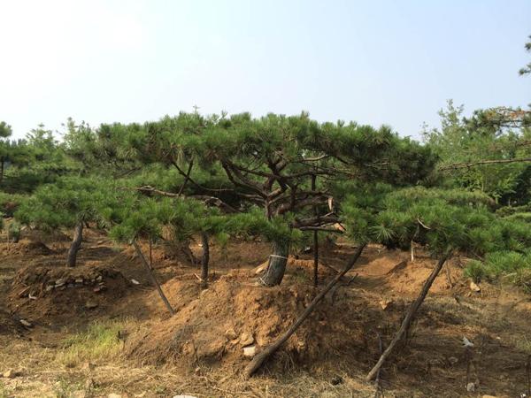 优良造型松供应批发|河北松树