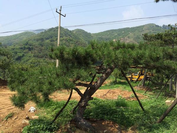 造型松上哪买好-福建松树
