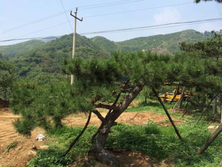 亚博体育风景松