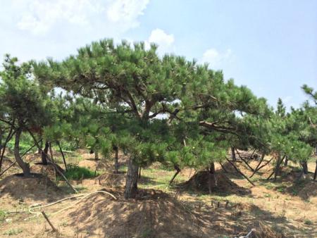 莱芜景观松树