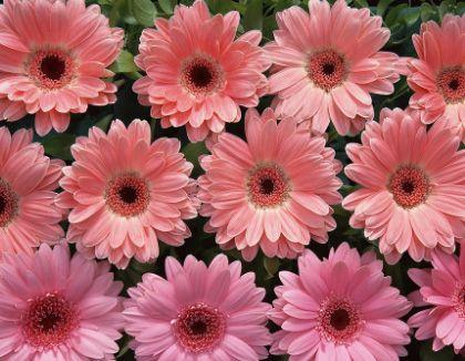 宿根花卉供应——波斯菊