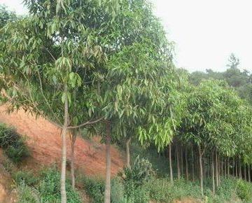 广西绿化苗木 多种绿化苗木基地供应