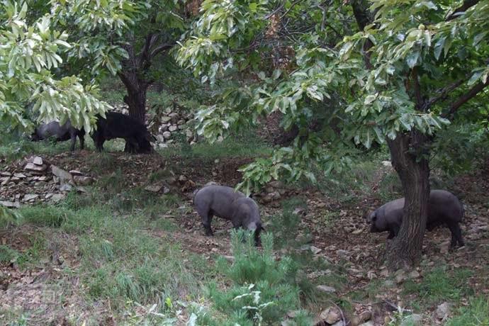 五莲黑猪纯正笨猪肉