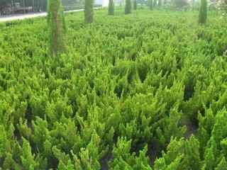 山东绿化苗木基地—小龙柏
