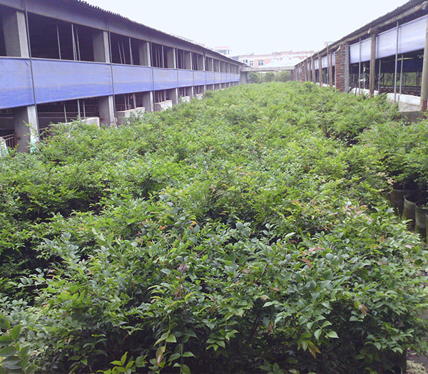 漳浦巴西甜樱桃,哪里能买到品种好的树葡萄小苗