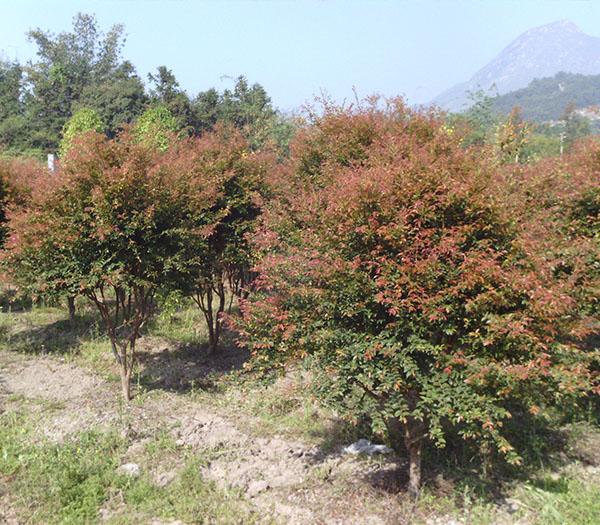 秀屿巴西甜樱桃_想要好的树葡萄中苗就来亿松公司