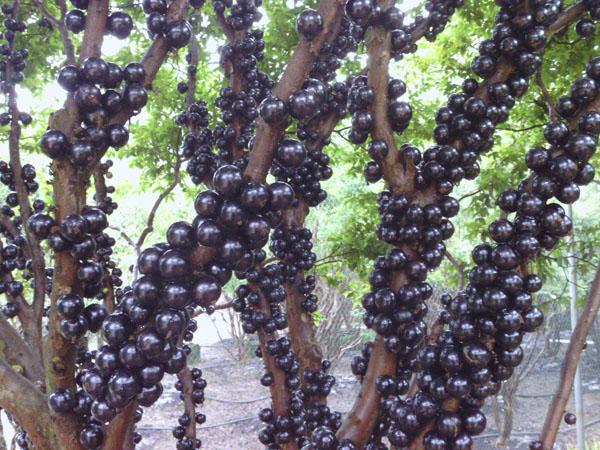 南平福建树葡萄 想要选购嘉宝果就来亿松公司