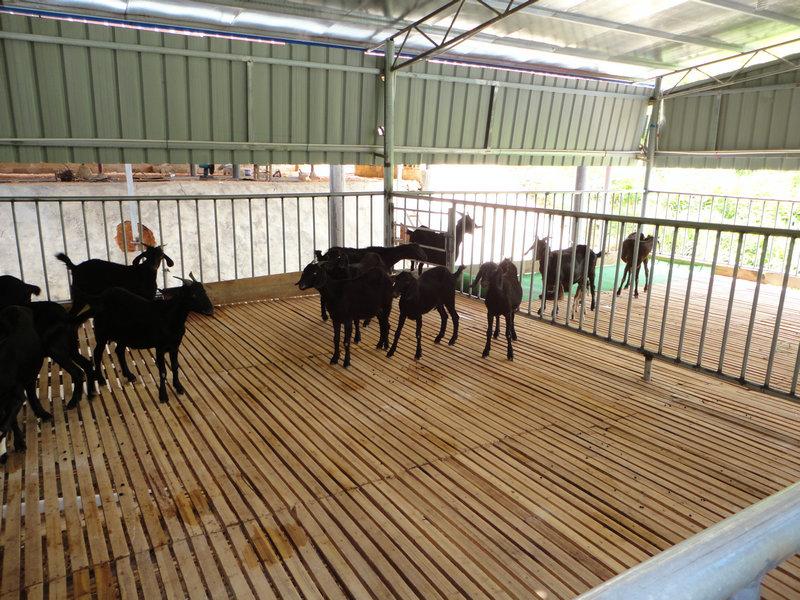 广西黑山羊养殖技术 专业的黑山羊养殖场