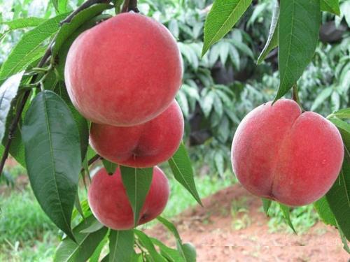 映霜红桃树苗