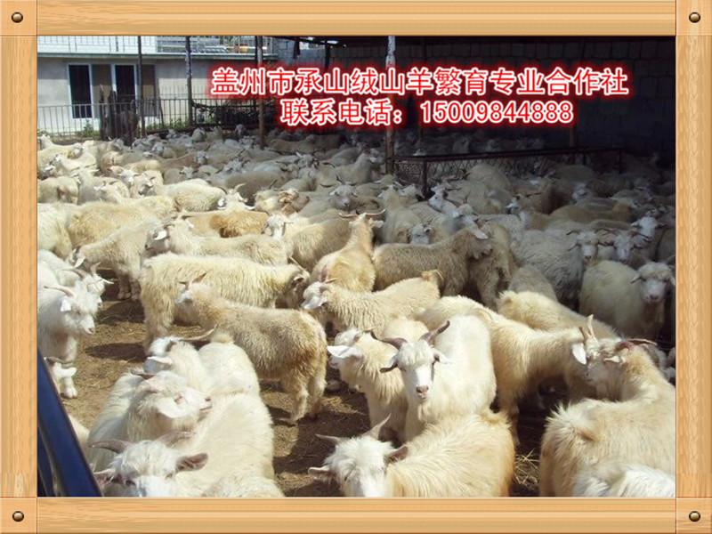 绒山羊价格——新品绒山羊市场价格情况