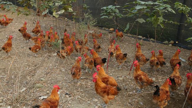 生态养殖鸡、鸭、羊