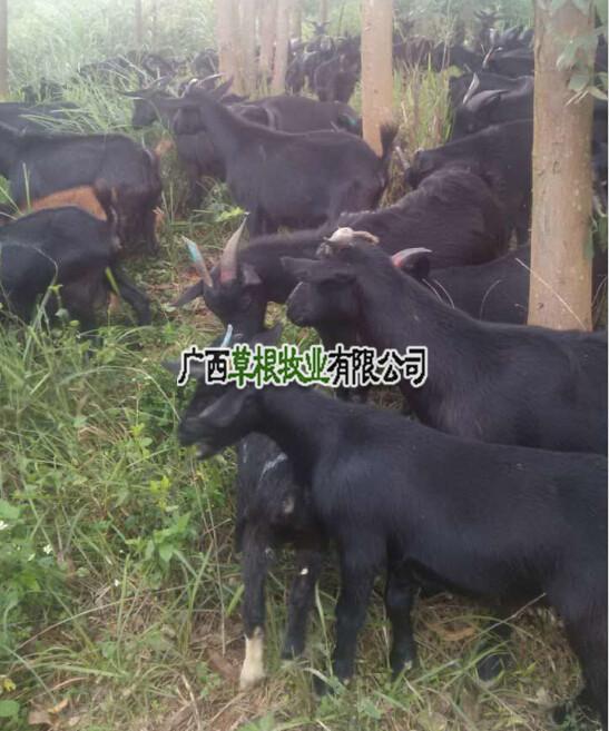 广西努比亚黑山羊养殖厂羊批发