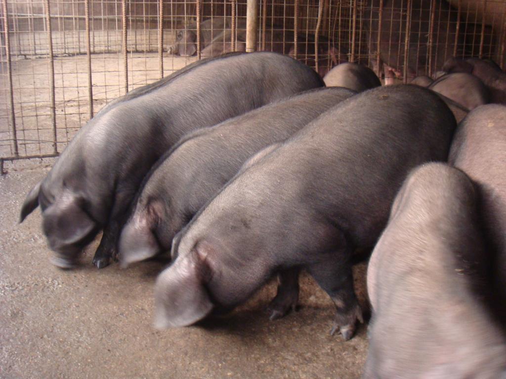 纯种太湖猪供应