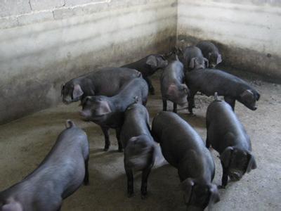 纯种太湖猪-优良的太湖猪哪里有供应