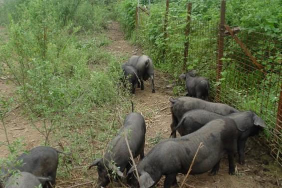 苏太母猪价格