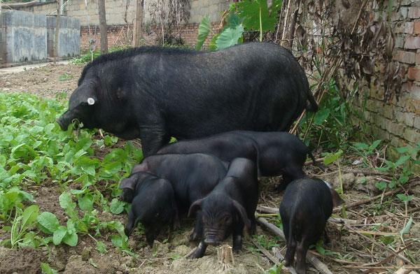 纯种太湖猪批发-质量好的太湖猪临朐县元杰生猪养殖供应