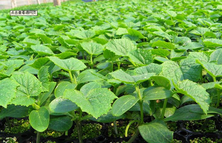 山东蔬菜种苗-质量好的黄瓜种苗优选康美农业