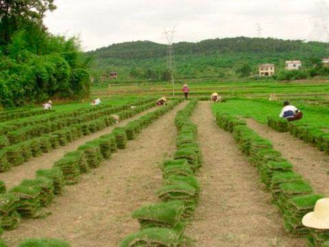 泉州绿化草皮,优质的厦门草皮出售