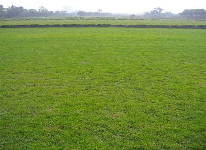 绿化草皮厂家|成活率高的厦门草皮批发