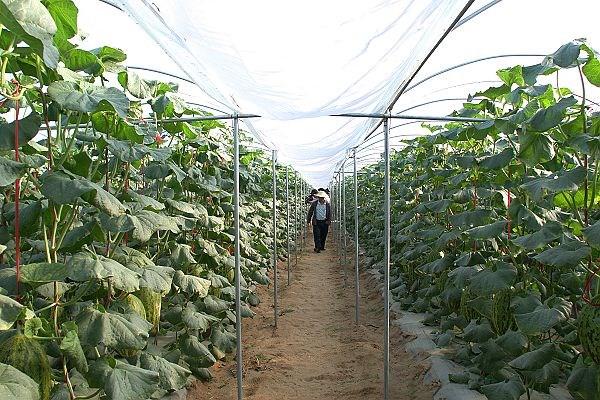 广西哈密瓜温室大棚种植