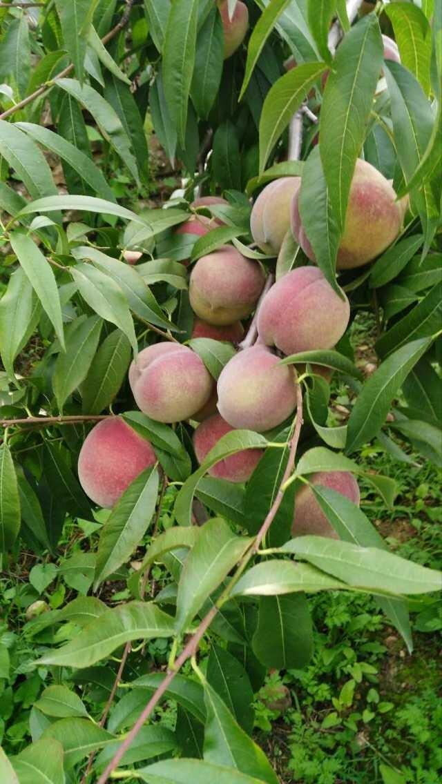供应青州蜜桃-划算的青州蜜桃出售
