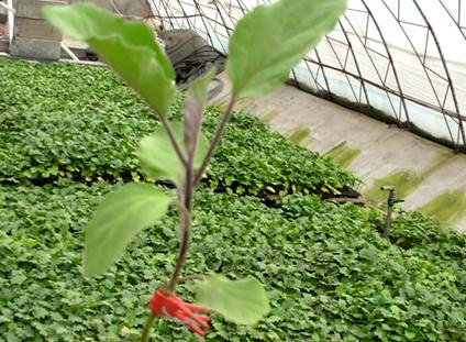 山东茄子种苗价格信息——茄子苗基地