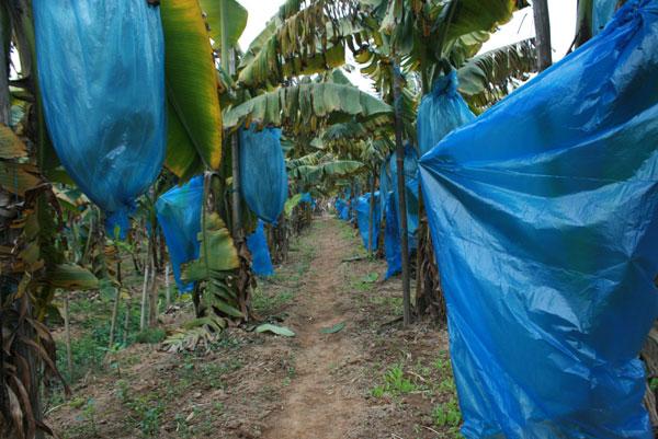 海口香蕉保護膜_南寧實用的廣西香蕉保護膜