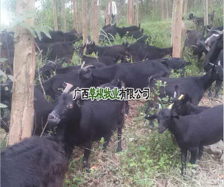 草根牧业马山黑山羊种羊供应 优质黑山羊养殖
