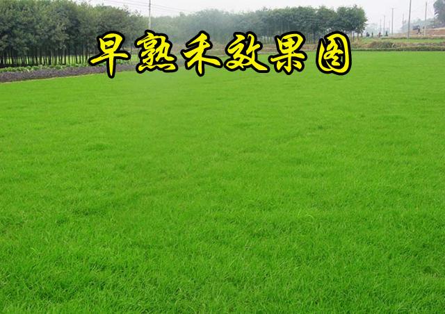 【早熟禾种子】专用草坪种子——厂家推荐