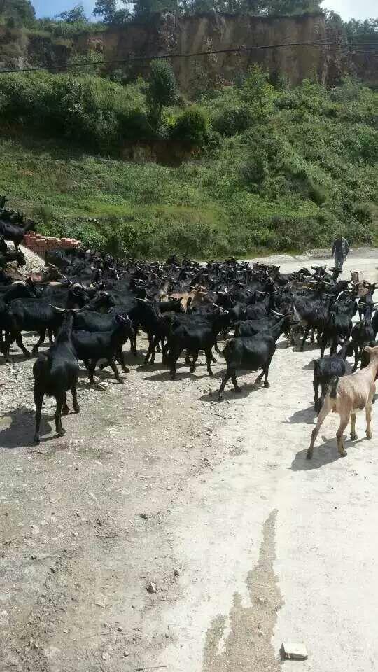 口碑好的马山黑山羊种羊哪家好 草根牧业专业养殖