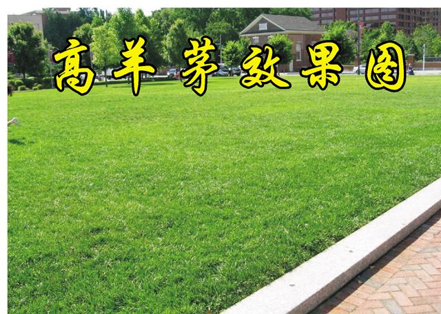 马鞍山高羊茅种子|价格实惠的四季青草坪种子-高羊茅种子郑州哪里有