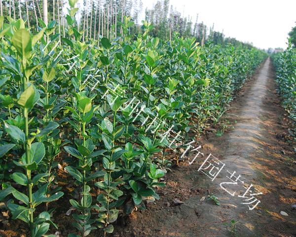 浙江北海道黄杨|成活率高的北海道黄杨批发