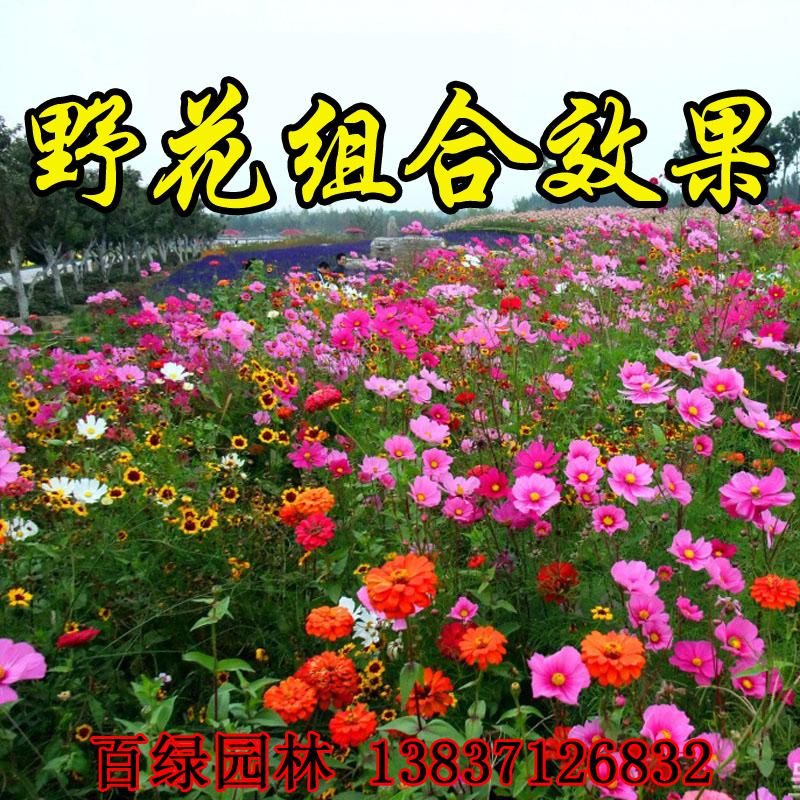 批發野花組合種子