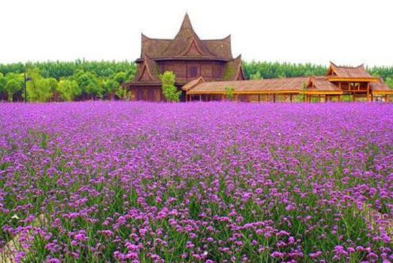 周氏兄弟花卉苗木出售具有口碑的马鞭草 山东马鞭草供应