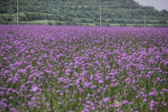 贵州马鞭草-划算的柳叶马鞭草就在万美花卉