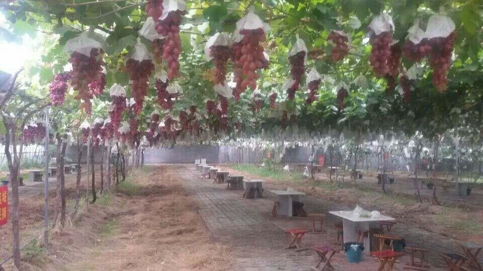 葡萄苗哪家买实惠_兴华一号葡萄苗种植